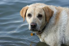 Mire del perro perdiguero de Labrador. Fotos de archivo