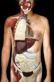 Mire el cuerpo humano interior Foto de archivo libre de regalías