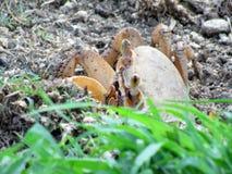 Mire a escondidas un cangrejo del abucheo foto de archivo libre de regalías