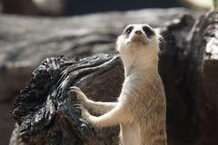 Mire hacia fuera el meerkat Fotografía de archivo