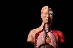 Mire la carrocería interior, anatomía humana Fotos de archivo libres de regalías