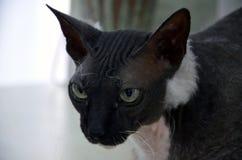 Mire la raza exótica de mentira del gato, bozal grande imagen de archivo libre de regalías