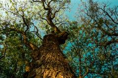 Mire para arriba de un árbol grande Fotos de archivo libres de regalías