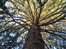 Mire para arriba el árbol de pino gigante foto de archivo
