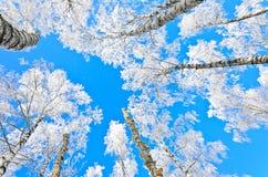 Mire para arriba el abedul del invierno Imágenes de archivo libres de regalías