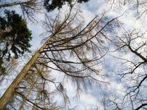 Mire para arriba en las coronas del árbol en invierno Fotografía de archivo libre de regalías
