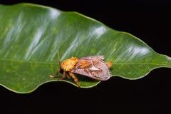 Miresa moth on green leaf Stock Photo