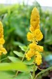 Mirez les fleurs de Bush, buisson de candélabres, buisson de bougie Photographie stock libre de droits