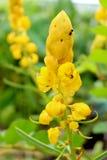 Mirez les fleurs de Bush, buisson de candélabres, buisson de bougie Images stock