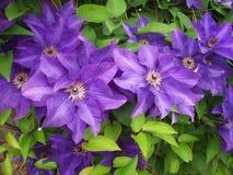 Miriam blomma Royaltyfria Foton