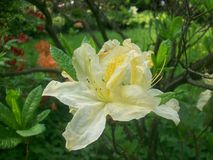 Miriam-Rhododendron lizenzfreies stockbild