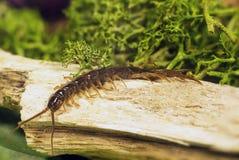 Miriapodi di sottotipo di chilopodi Fotografia Stock Libera da Diritti