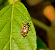 mirid листьев черепашки Стоковое фото RF