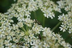 Mirid Bug - Grypocoris stysi Stock Photo