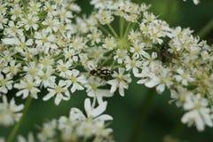 Mirid Bug - Grypocoris stysi Royalty Free Stock Image