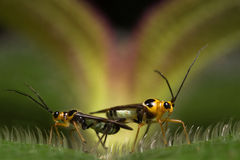 Mirid Bug Macro Mating Royalty Free Stock Images