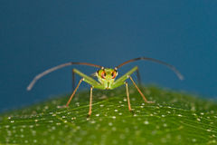 Mirid bug (Pantilius tunicatus) Royalty Free Stock Photo