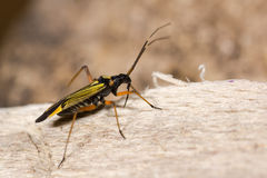 Miris striatus mirid bug Royalty Free Stock Photos