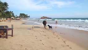 MIRISSA, SRI LANKA - MARCH 2014: View of an cow chased by dogs on beach in Mirissa. This small sandy tropical beach boasts some of stock footage