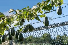 Mirliton Squash a pear shaped vegetable also known as ChoCho. Chayote Mirliton Squash a pear shaped vegetable known in Jamaica as ChoCho, hanging from vine in royalty free stock image