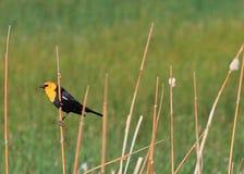 Mirlo amarillo encaramado en un Cattail Foto de archivo