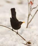 Mirlo con nieve Fotos de archivo