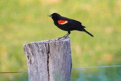 Mirlo de alas rojas Fotografía de archivo