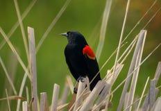 Mirlo de alas rojas Foto de archivo