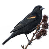 Mirlo de alas rojas Foto de archivo libre de regalías