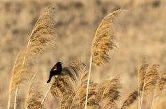 Mirlo de alas rojas Fotos de archivo