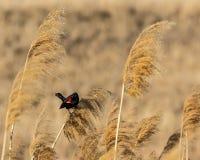 Mirlo de alas rojas Imagenes de archivo