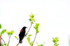 Mirlo de alas rojas Fotos de archivo libres de regalías