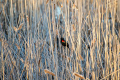 Mirlo de alas rojas Fotografía de archivo libre de regalías