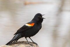 Mirlo de alas rojas del canto Fotos de archivo libres de regalías