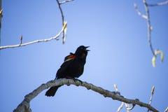Mirlo de alas rojas del canto Imagenes de archivo
