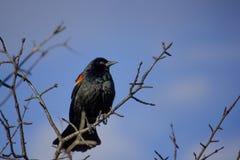 Mirlo de alas rojas en árbol Imágenes de archivo libres de regalías
