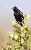 Mirlo de alas rojas en arbusto Fotos de archivo