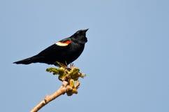 Mirlo de alas rojas encaramado en un árbol Fotografía de archivo