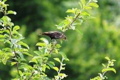 Mirlo de alas rojas femenino Fotos de archivo