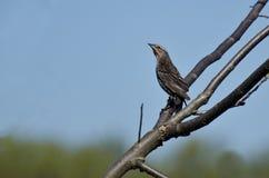 Mirlo de alas rojas femenino encaramado en un árbol Fotos de archivo