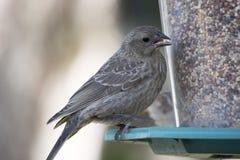 Mirlo de alas rojas juvenil en el alimentador imagen de archivo libre de regalías