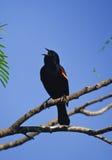 Mirlo de alas rojas llamada Fotos de archivo libres de regalías