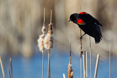 Mirlo de alas rojas masculino Fotografía de archivo libre de regalías