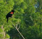 Mirlo de alas rojas masculino que canta en naturaleza Fotos de archivo libres de regalías