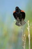 Mirlo de alas rojas que canta Imagen de archivo