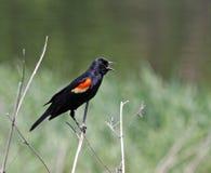 Mirlo de alas rojas que canta foto de archivo libre de regalías