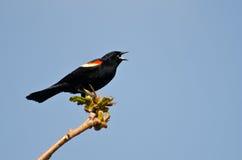 Mirlo de alas rojas que canta de un árbol Imagenes de archivo
