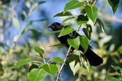 Mirlo de alas rojas que oculta en un árbol Foto de archivo