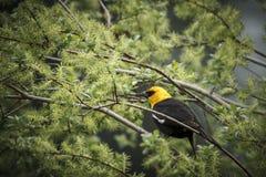 Mirlo dirigido amarillo acurrucado en árbol Foto de archivo