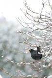 Mirlo en nieve Fotos de archivo libres de regalías